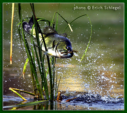 texas guadalupe bass. Crazy Bass Photo - by Erich