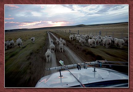 sheep running away from truck estancia san julio, Toon Ken Lodge